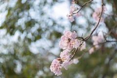Fermez-vous de l'arbre de trompette rose image libre de droits