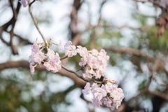 Fermez-vous de l'arbre de trompette rose images libres de droits