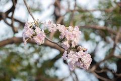Fermez-vous de l'arbre de trompette rose photos libres de droits