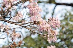 Fermez-vous de l'arbre de trompette rose photographie stock libre de droits
