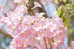 Fermez-vous de l'arbre de trompette de rose de rosea de Tabebuia photos stock