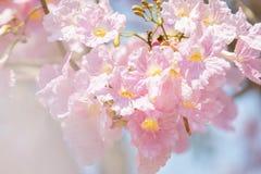 Fermez-vous de l'arbre de trompette de rose de rosea de Tabebuia photo stock