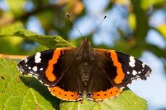 Fermez-vous de l'atalanta de vanessa de papillon d'amiral rouge Profondeur de zone Photographie stock libre de droits