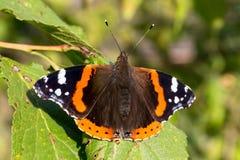 Fermez-vous de l'atalanta de vanessa de papillon d'amiral rouge Profondeur de zone Photo stock