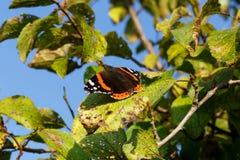 Fermez-vous de l'atalanta de vanessa de papillon d'amiral rouge Profondeur de zone Photos stock