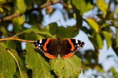 Fermez-vous de l'atalanta de vanessa de papillon d'amiral rouge Profondeur de zone Photo libre de droits
