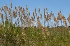 Fermez-vous de l'avoine de mer avec l'herbe sur la dune de sable image stock