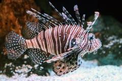 Fermez-vous de l'eau du fond de lionfish Images stock