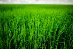 Fermez-vous de l'herbe épaisse fraîche avec des baisses de l'eau pendant le début de la matinée photographie stock libre de droits