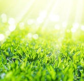 Fermez-vous de l'herbe de champ dans des rayons du soleil Photographie stock libre de droits