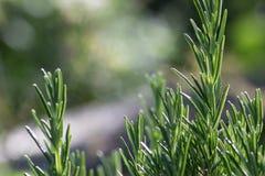 Fermez-vous de l'herbe de romarin Image stock