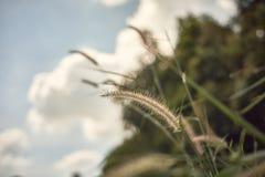 Fermez-vous de l'herbe fleurissante image libre de droits