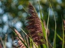 Fermez-vous de l'herbe ornementale sauvage Photo stock