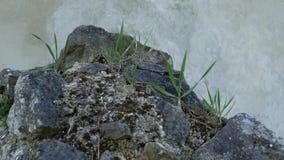 Fermez-vous de l'herbe sur une roche banque de vidéos
