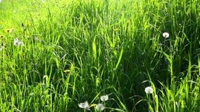 Fermez-vous de l'herbe verte banque de vidéos