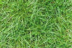 Fermez-vous de l'herbe verte de ressort frais avec des pousses de trèfle allumées par Photos stock