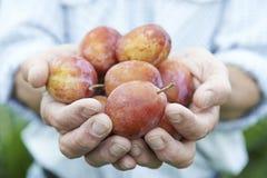 Fermez-vous de l'homme tenant les prunes fraîchement sélectionnées Photos stock
