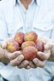 Fermez-vous de l'homme tenant les prunes fraîchement sélectionnées Photographie stock libre de droits
