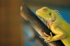 Fermez-vous de l'iguane vert Foyer sélectif photo libre de droits
