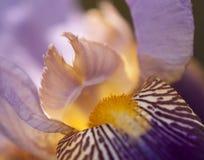 Fermez-vous de l'iris barbu Photo libre de droits