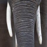Fermez-vous de l'les éléphants africains flairent et des défenses Photographie stock libre de droits