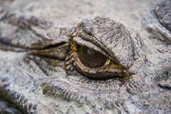 Fermez-vous de l'OEIL d'un alligator noir énorme de caïman La Guyane Amérique du Sud images libres de droits