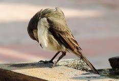 Fermez-vous de l'oiseau brun mignon se lissant Photographie stock libre de droits