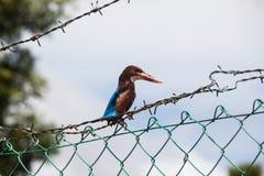 Fermez-vous de l'oiseau du Roi Fisher Photographie stock libre de droits