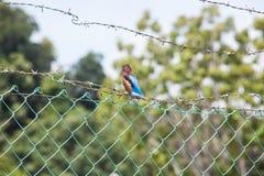Fermez-vous de l'oiseau du Roi Fisher avec le fond de bavures Image libre de droits