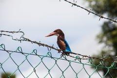 Fermez-vous de l'oiseau du Roi Fisher avec le fond de bavures Photos stock