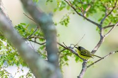 Fermez-vous de l'oiseau jaune-lored de passerine de tody-FLYCATCHER Photo libre de droits