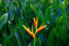 Fermez-vous de l'oiseau orange de la fleur de paradis avec le dos de plante verte Photo libre de droits