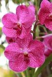 Fermez-vous de l'orchidée rose Photographie stock