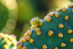 Fermez-vous de l'usine de cactus de microdasys d'opuntia avec le nouvel élevage de bourgeons Image libre de droits