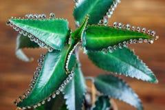 Fermez-vous de l'usine de pinnata de Kalanchoe Daigremontianum de Bryophyllum, également appelé Mother des milliers, usine d'alli photo stock