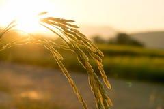 Fermez-vous de l'usine jaune de riz non-décortiqué sur le champ et la lumière du soleil Image stock
