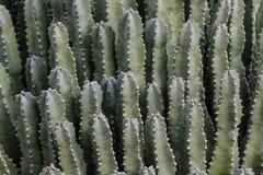 Fermez-vous de l'usine marocaine de Spurge de résine de monticule Indigène du Maroc Peau verte lisse ; aiguilles épineuses sur de images stock