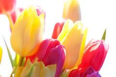 Fermez-vous de la baisse de l'eau de Sunny Tulip Flower Meadow Isolated With Image stock