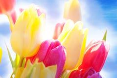 Fermez-vous de la baisse de Sunny Tulip Flower Meadow With Water et du ciel bleu Photographie stock