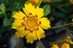 Fermez-vous de la belle fleur jaune avec les corrections rouges le jour ensoleillé Images libres de droits