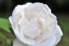 Fermez-vous de la belle fleur rose image stock