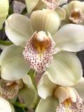 Fermez-vous de la belle orchidée blanche Photos stock