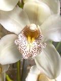 Fermez-vous de la belle orchidée blanche Photo stock