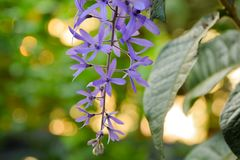 Fermez-vous de la belle vigne pourpre de fleur, de papier sablé ou du fond de nature de Bokeh de floweron de petrea photographie stock
