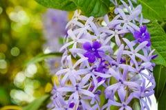 Fermez-vous de la belle vigne pourpre de fleur, de papier sablé ou de la fleur de petrea sur le fond de nature de Bokeh images libres de droits