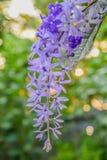 Fermez-vous de la belle vigne pourpre de fleur, de papier sablé ou de la fleur de petrea sur le fond de nature de Bokeh photo libre de droits