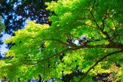 Fermez-vous de la branche d'arbre avec les feuilles vert clair Image stock