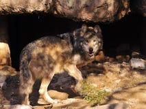 Fermez-vous de la caverne entrante de Grey Wolf Looking Behind Him Before de Mexicain image stock