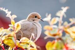 Fermez-vous de la colombe de deuil se reposant sur un rebord de balcon, la Californie image libre de droits