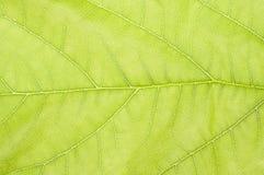 Fermez-vous de la feuille verte sensible Image stock